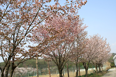 川口中学校桜