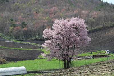 一本桜その1