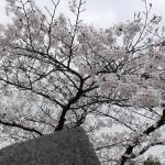 盛岡城跡公園のサクラ