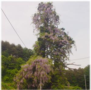 大森の大藤 - 全景